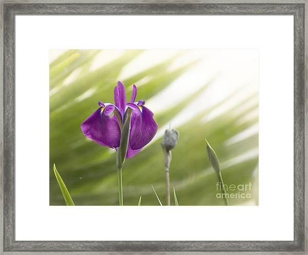 Purple Japanese Water Iris Framed Print