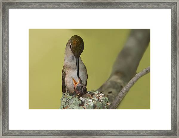 Ruby-throated Feeding Framed Print