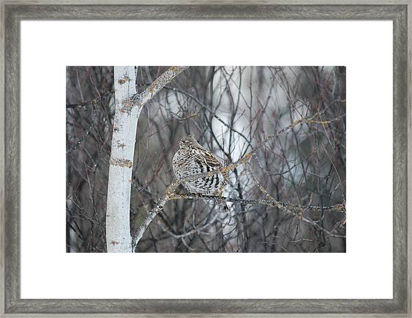 Ruffed Grouse Roosting Framed Print