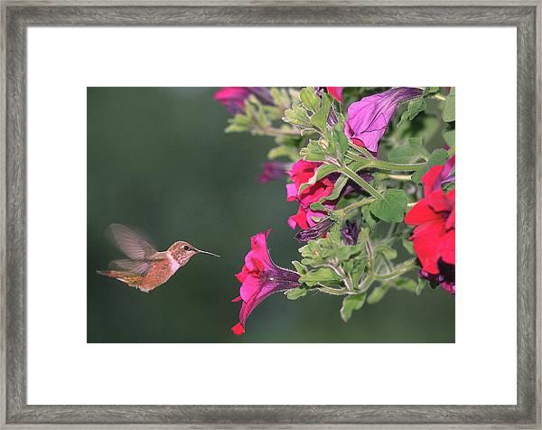 Rufous Hummingbird Framed Print