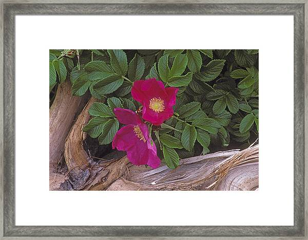 Rugosa Rose And Driftwood Framed Print
