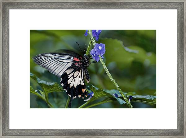 Rumanzovia Swallowtail-papilio Rumanzovia Female Framed Print