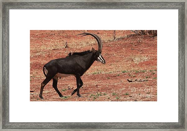Sable Antelope - Male Framed Print