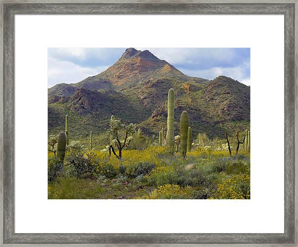 Saguaro And Teddybear Cholla Framed Print