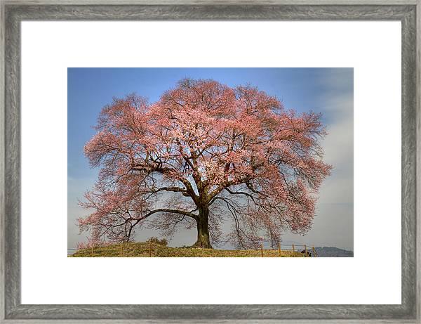 Sakura Sakura 1 Framed Print