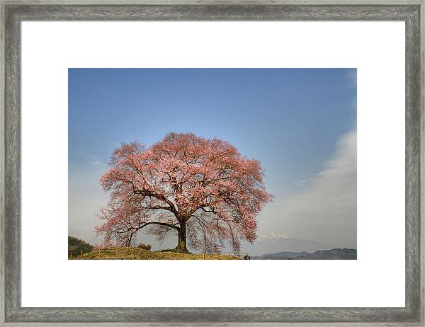 Sakura Sakura 2 Framed Print
