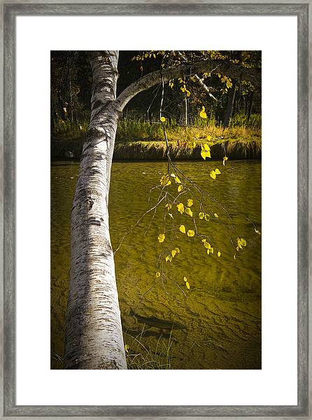 Salmon During The Fall Migration In The Little Manistee River In Michigan No. 0887 Framed Print