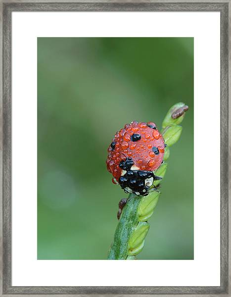Seven-spotted Lady Beetle On Grass With Dew Framed Print