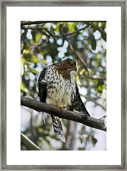 Sharp Shinned Hawk - Winged Stare -5459 Framed Print