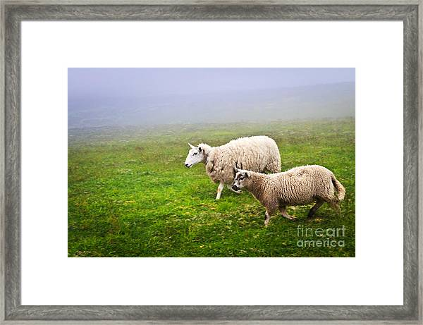 Sheep In Misty Meadow Framed Print