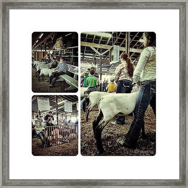 Sheep Show Framed Print