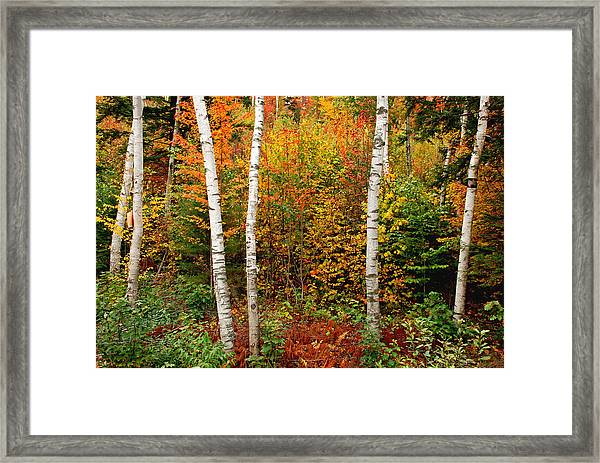 Shelburne Birches 2 Framed Print