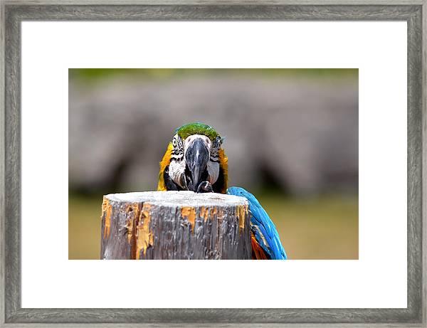 Shy Macaw Framed Print