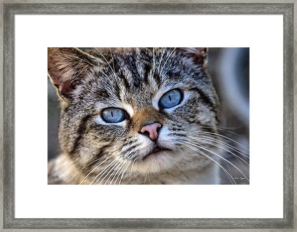 Siamese Feral Cat Framed Print