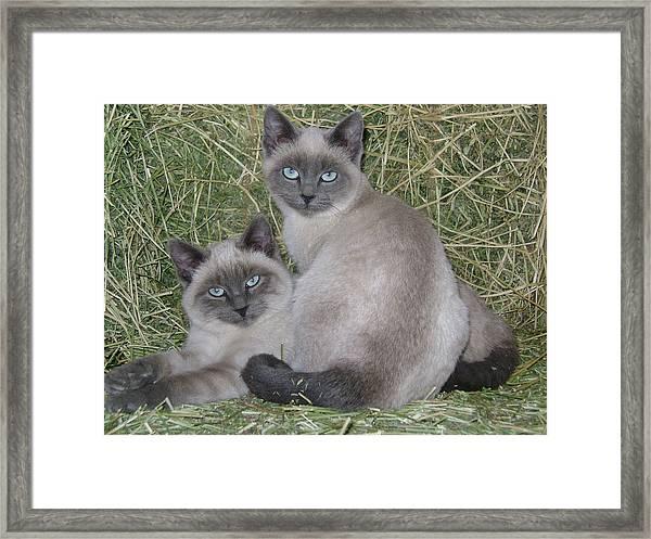 Siamese Haystack Framed Print