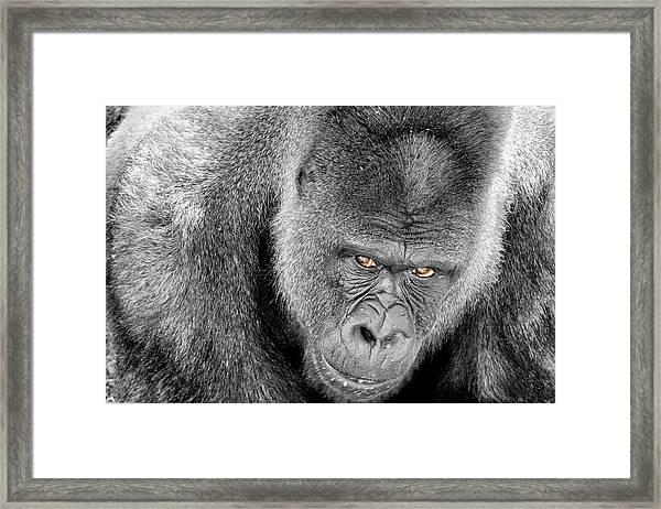 Silverback Staredown Framed Print