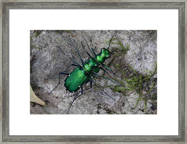 Six-spotted Tiger Beetles Copulating Framed Print