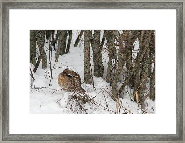 Sleeping Grouse On Snow Framed Print