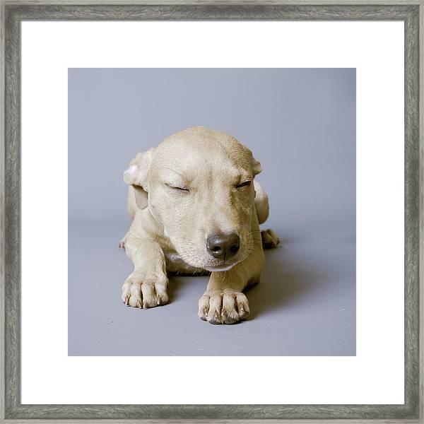 Sleeping Puppy On White Background Framed Print