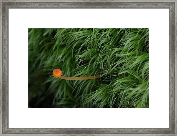 Small Orange Mushroom In Moss Framed Print