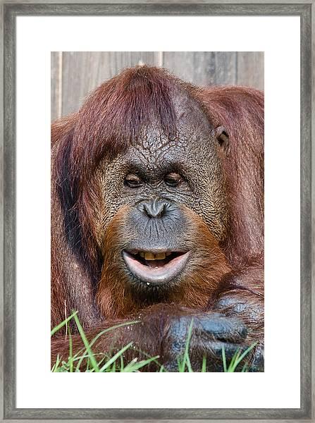 Smiling Orangutan Framed Print