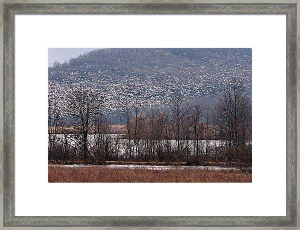 Framed Print featuring the photograph Snow Geese Rising by William Jobes