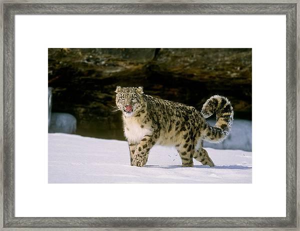 Snow Leopard 2 Framed Print