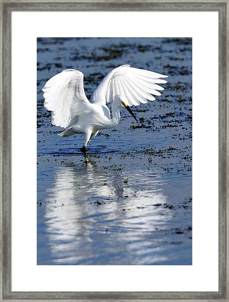 Snowy Egret Fishing Framed Print