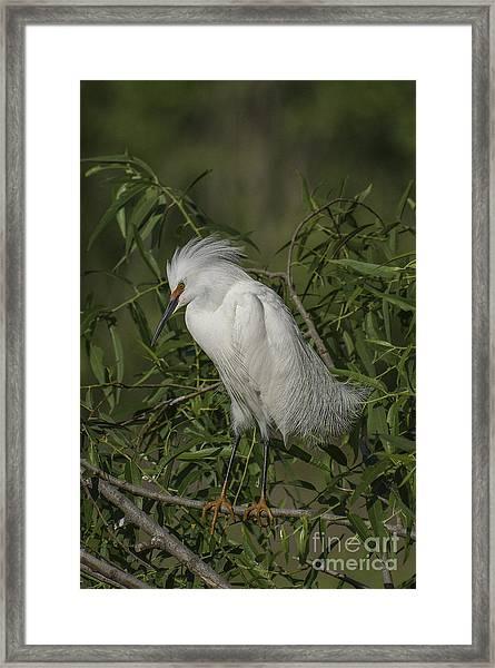 Snowy Egret In Breeding Plumage Framed Print