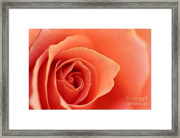 Soft Rose Petals Framed Print