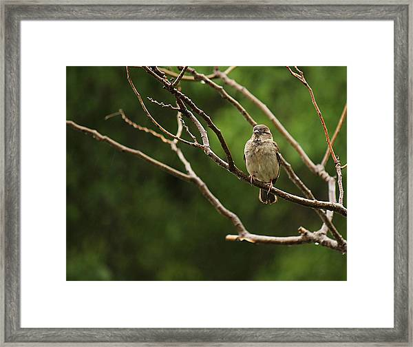 Sparrow In The Rain Framed Print
