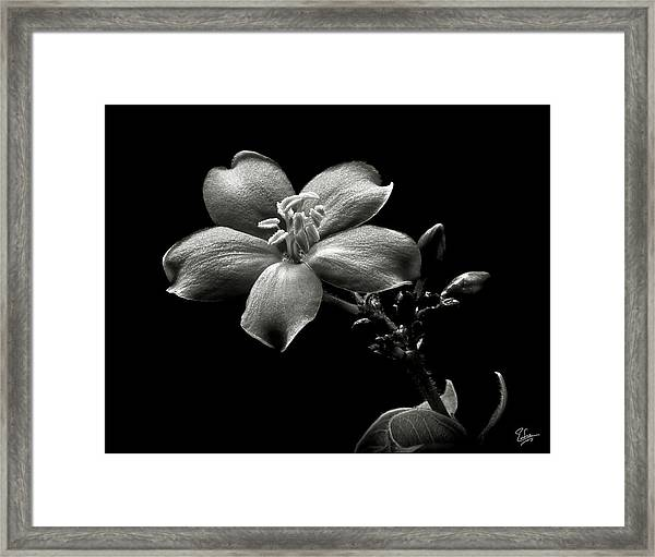 Spicy Jatropha In Black And White Framed Print
