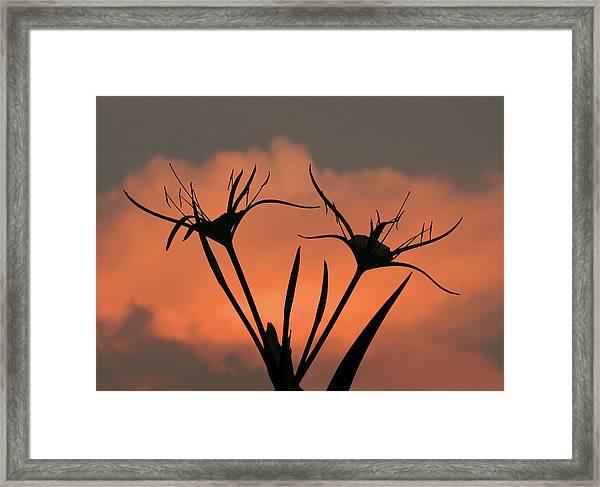 Spider Lilies At Sunset Framed Print