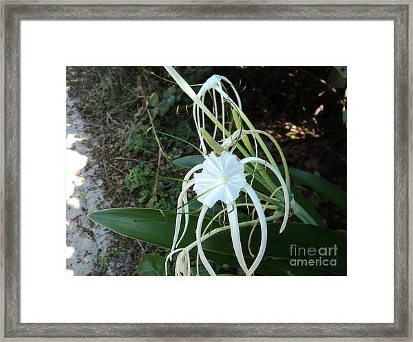 Spider Lily3 Framed Print
