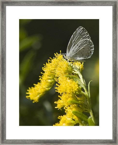 Spring Azure And Goldenrod Framed Print