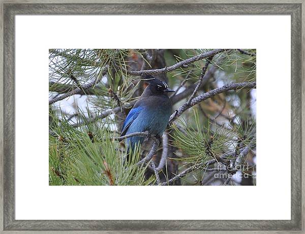 Stellar's Jay In Profile Framed Print