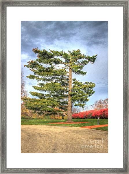 Strangely Shaped Tree At Cincinnati Observatory Framed Print