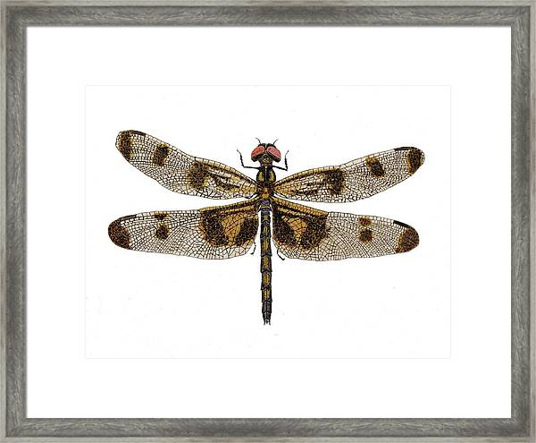 Study Of A Banded Pennant Dragonfly Framed Print