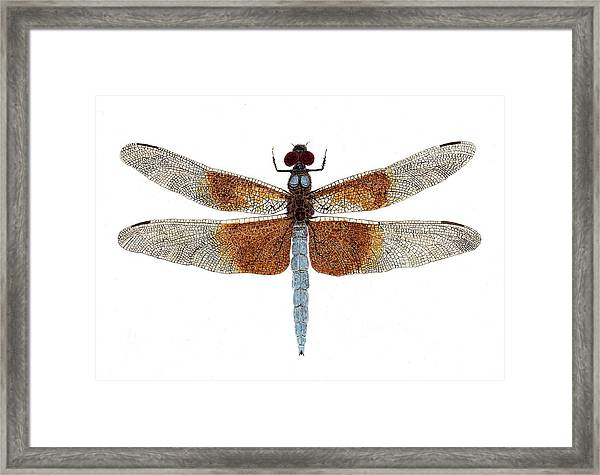 Study Of A Female Widow Skimmer Dragonfly Framed Print