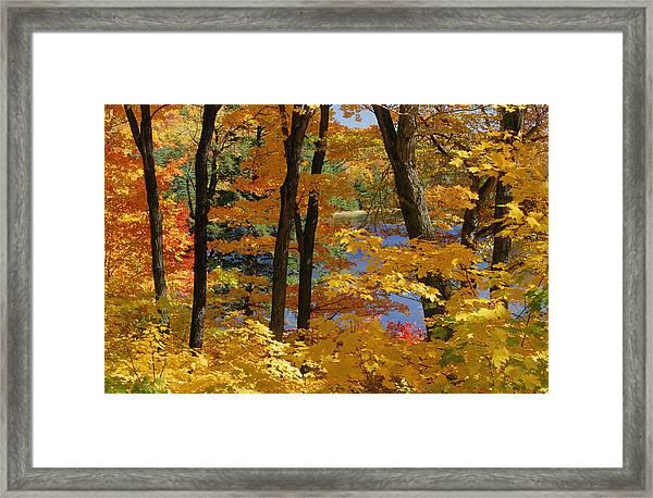Sugar Maples, Gatineau Park, Quebec Framed Print