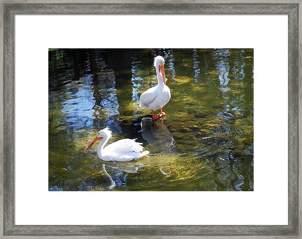 Summer White Pelican Framed Print