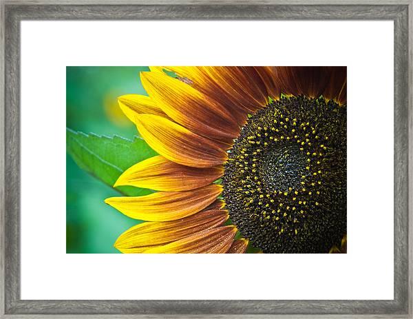 Sunflower Beauty Framed Print