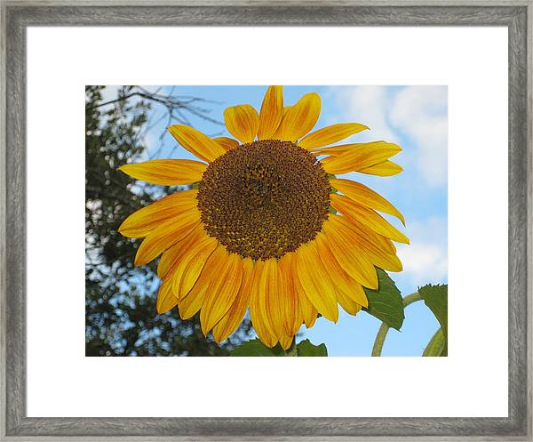 Sunflower Framed Print by Carolyn Reinhart