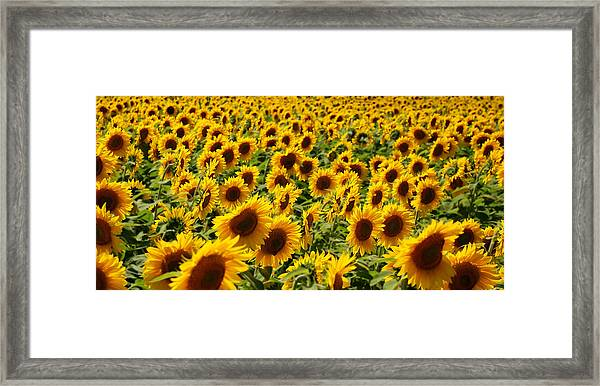 Sunflower Panorama Framed Print