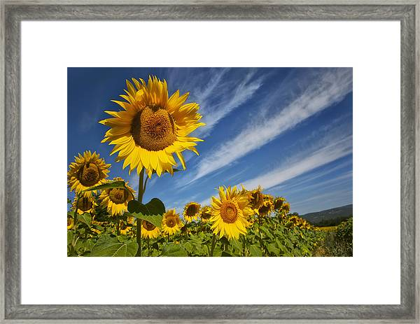 Sunflower Seranade Framed Print