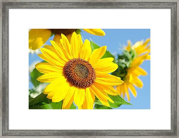 Sunflower Study IIi Framed Print