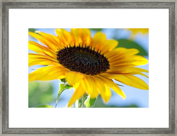 Sunflower Study V Framed Print