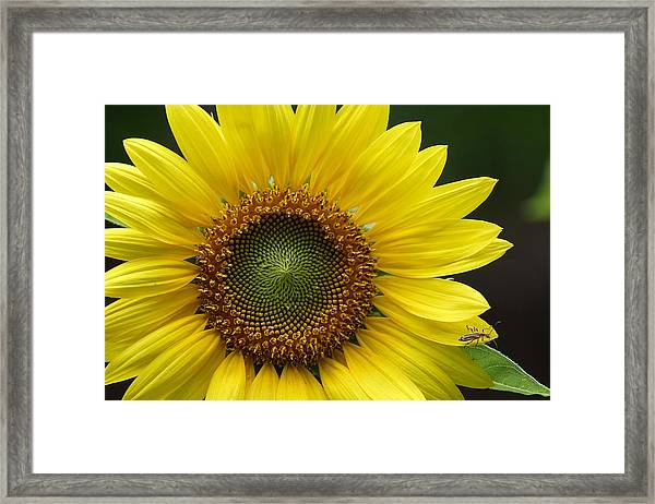 Sunflower With Insect Framed Print