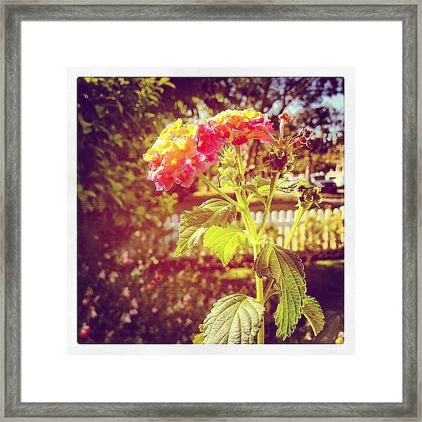 #sunlight #beautiful #flower Framed Print