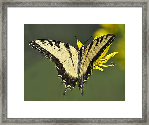 Swallowtail And Friend Framed Print
